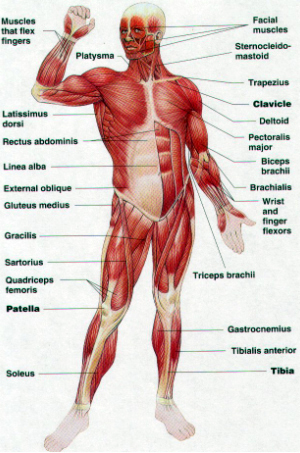 Printable Diagram Of Digestive System moreover Fa Aa A Bff Df A Bfd D in addition Endocrine System furthermore Skeletal And Muscular System Flashcards Quizlet as well Ductus Deferens. on muscular system male labels